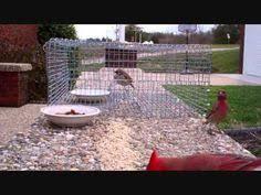 Trip Mechanism for Repeating Sparrow  amp  Starling Trap   Johns stuff    Me Versus Sparrows  Trap Wmv  Sparrow Trap  Food Catch  Birds Safe  Bird Trap  Better Bird  Bird House Plans  Biddle