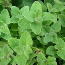 Origanum majorana (sweet marjoram): Go Botany