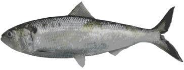 tirsi balığı ile ilgili görsel sonucu
