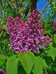 Syringa vulgaris Lilac, Common lilac PFAF Plant Database