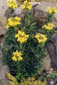 Alyssoides utriculata - Wikipedia