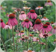Image result for perennial plants