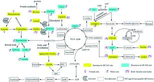 gender specific metabolic responses in focal cerebral ischemia of      schematic diagram of the disturbed metabolic pathways detected by h nmr analysis  showing the interrelationship of the identified metabolites