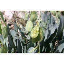 Genere Isatis - Flora Italiana