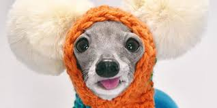 Meet Tika, a 9-year-old Italian greyhound who wears colorful outfits ...