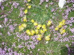 Anthyllis vulneraria subsp. alpestris - (Hegetschw.) Asch. & Graebn.