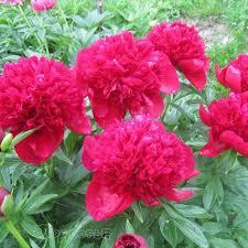 <b>Пион</b> Ред Чарм (<b>Red</b> Charm) - фото, описание