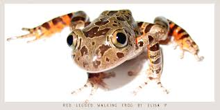 Image result for red legged frog picture