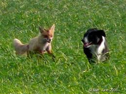 Νεκροί σκύλοι και αλεπούδες από δηλητηρίαση στην Πίνδο ...
