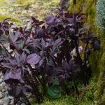Hellebores In The Garden | Northwest Garden Nursery, Eugene, OR ...
