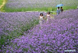 <b>Purple flowers</b> attract tourists in south China's Guangxi - Xinhua ...