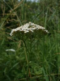 Achillea collina - Wikispecies