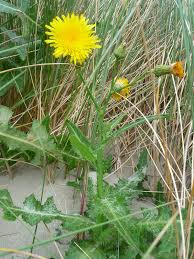 Sow thistles