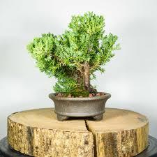 bonsai tree juniper squamata office trimmer semi cascade bonsai tree for office