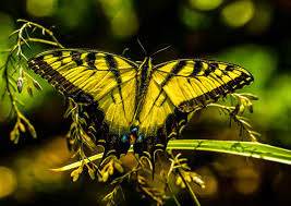migration celebration 2014 eastern swallowtails photographer roger k allen location lake jackson category wildlife of texas mid coast award first place