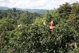 Numi <b>Organic Tea</b> - ☕️ <b>Pu</b>-<b>erh</b>