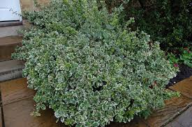 Image result for euonymus