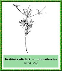 Dipsacaceae in Flora of Pakistan @ efloras.org