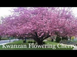 Image result for The Kwanzan Cherry tree,Chinese Cherry tree, and Yoshino Flowering Cherry tree