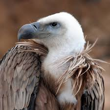 endangered species wonders of vulture population stabilising in