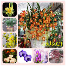 Compare Prices on Cymbidium Orchid- Online Shopping/Buy Low ...