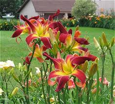 Image result for red daylily