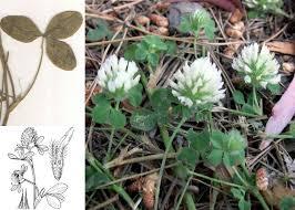 Trifolium pallidum Waldst. & Kit. - Portale della Flora di Roma