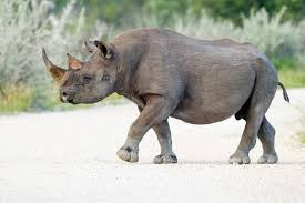 <b>Black rhinoceros</b> - Wikipedia