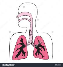 drawing of the human respiratory system in vector format    save to a lightbox