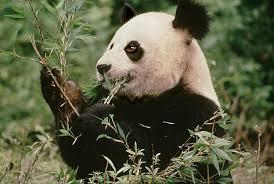 What do <b>pandas</b> eat? | WWF