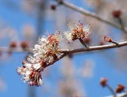 Image result for silver maple buds