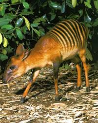 Cephalophus zebra
