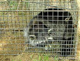 Résultats de recherche d'images pour «raton laveur dans une cage»