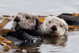 Image result for southern sea otter picture
