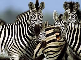 Image result for zebra pictures