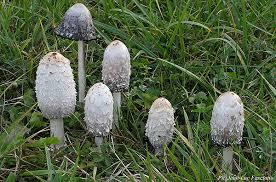 """Résultat de recherche d'images pour """"champignons des prés comestibles"""""""