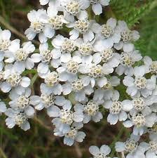 Online Virtual Flora of Wisconsin - Achillea millefolium