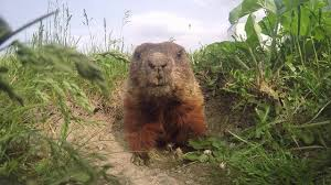 Daily routine of a <b>cute woodchuck</b> - YouTube