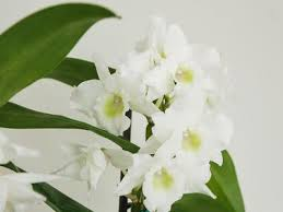How to Grow and Care for <b>Phalaenopsis</b> Orchids