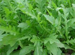 <b>Семена Горох Альфа</b> : описание сорта, фото. Купить с доставкой ...