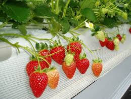 Image result for buah strawberry imut