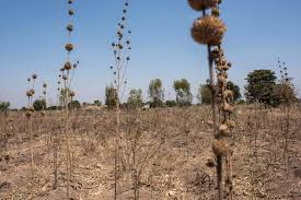 photos in drought stricken rains just don t come pbs weeds grow in a corn field in the village of ngwelelo one of the drought