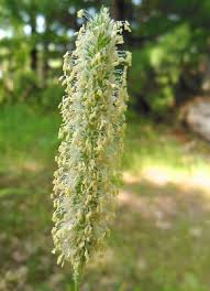 Phleum pratense - Michigan Flora