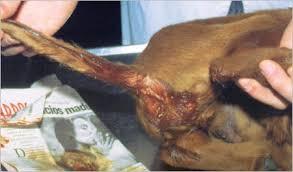 perros con parvovirus
