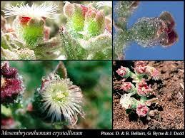 Mesembryanthemum crystallinum L.: FloraBase: Flora of Western ...