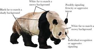 Why is the giant <b>panda black</b> and white? | Behavioral Ecology ...