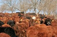 The global dangers of industrial meat - GRAIN