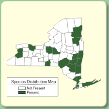 Fallopia dumetorum - Species Page - NYFA: New York Flora Atlas