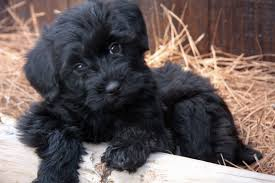 Image result for yorkipoo
