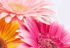 <b>Gerbera Daisy</b> Care Guide: Growing Information, Tips and Meaning ...